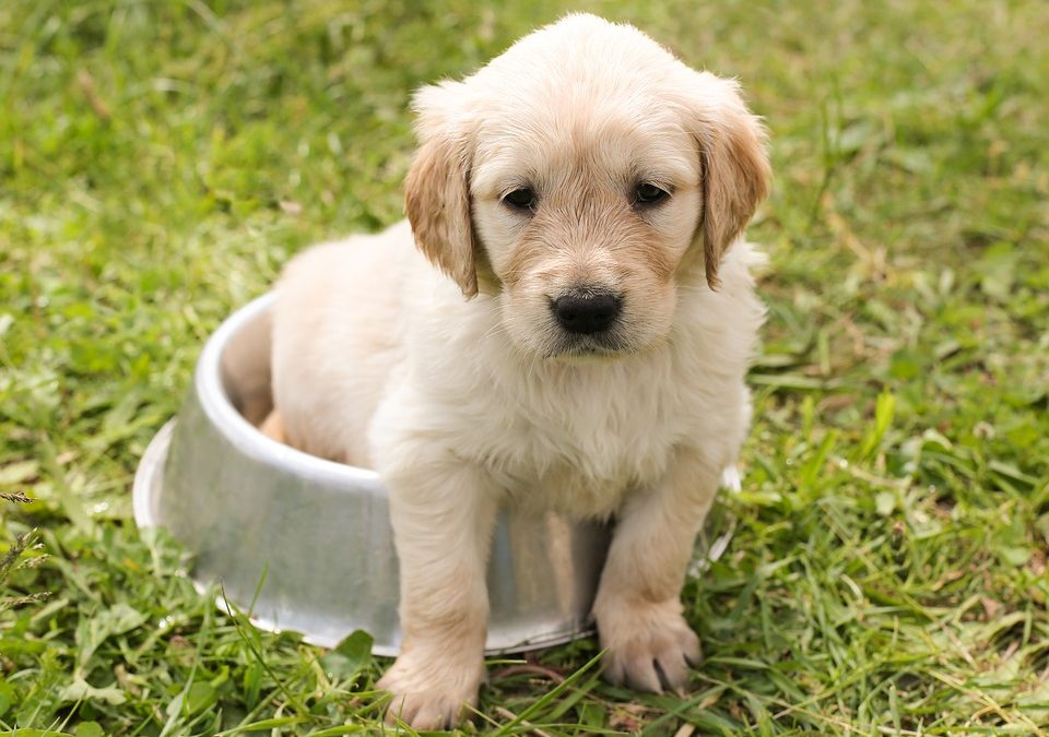 Facts about Golden Retriever
